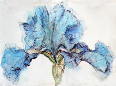 Blue Iris by Chris Duke