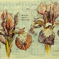 Two Iris Study - II by Chris Duke